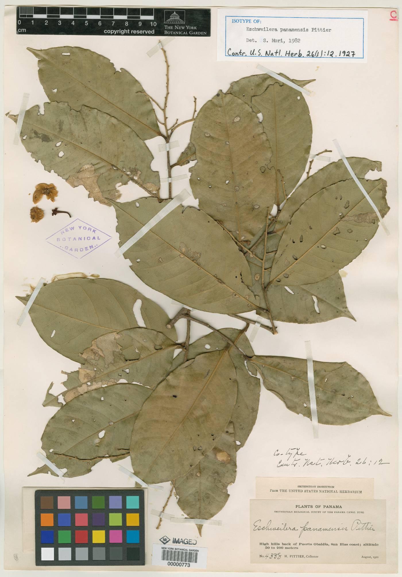 Eschweilera panamensis image