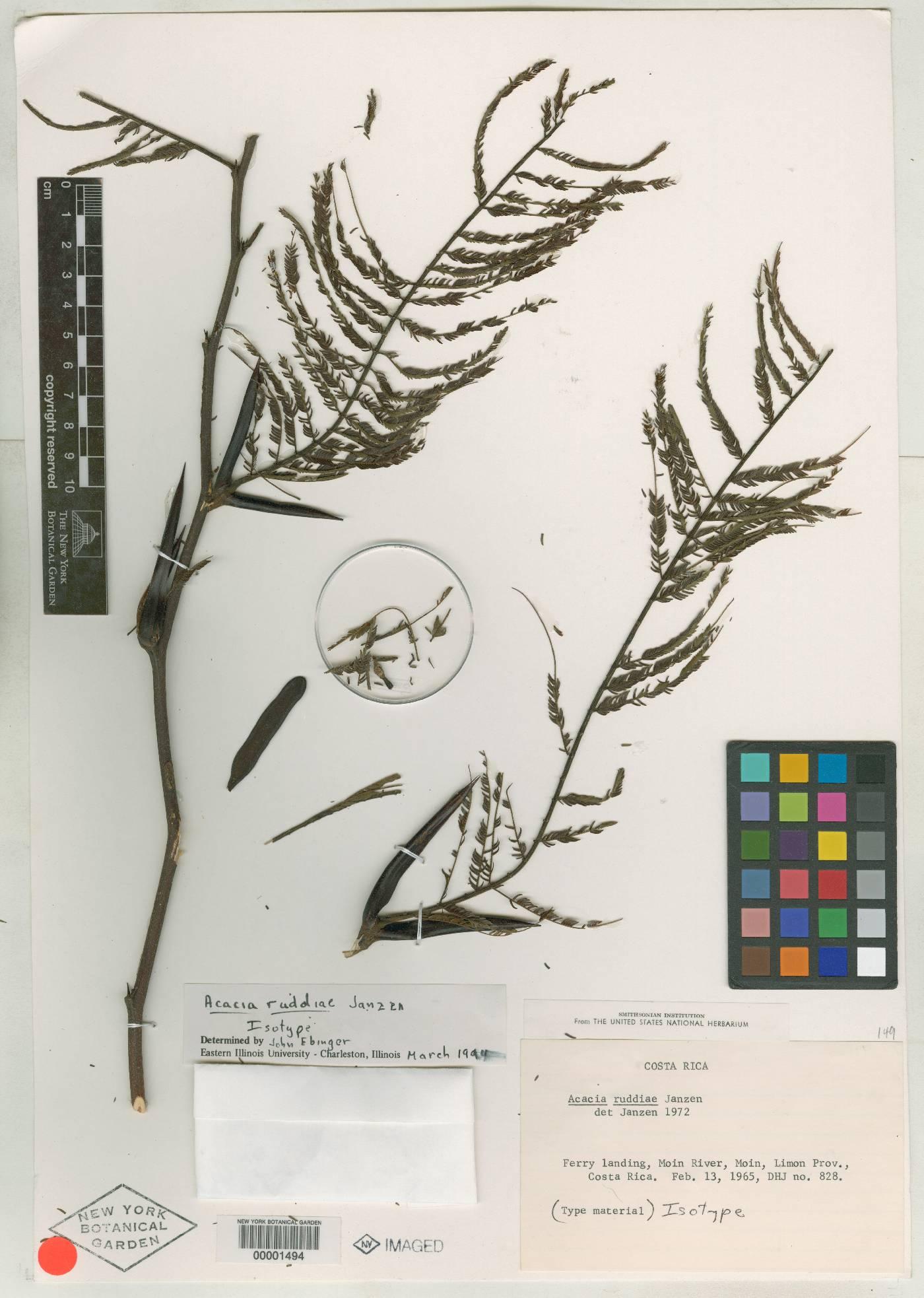 Acacia ruddiae image
