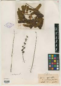 Cassia regia image
