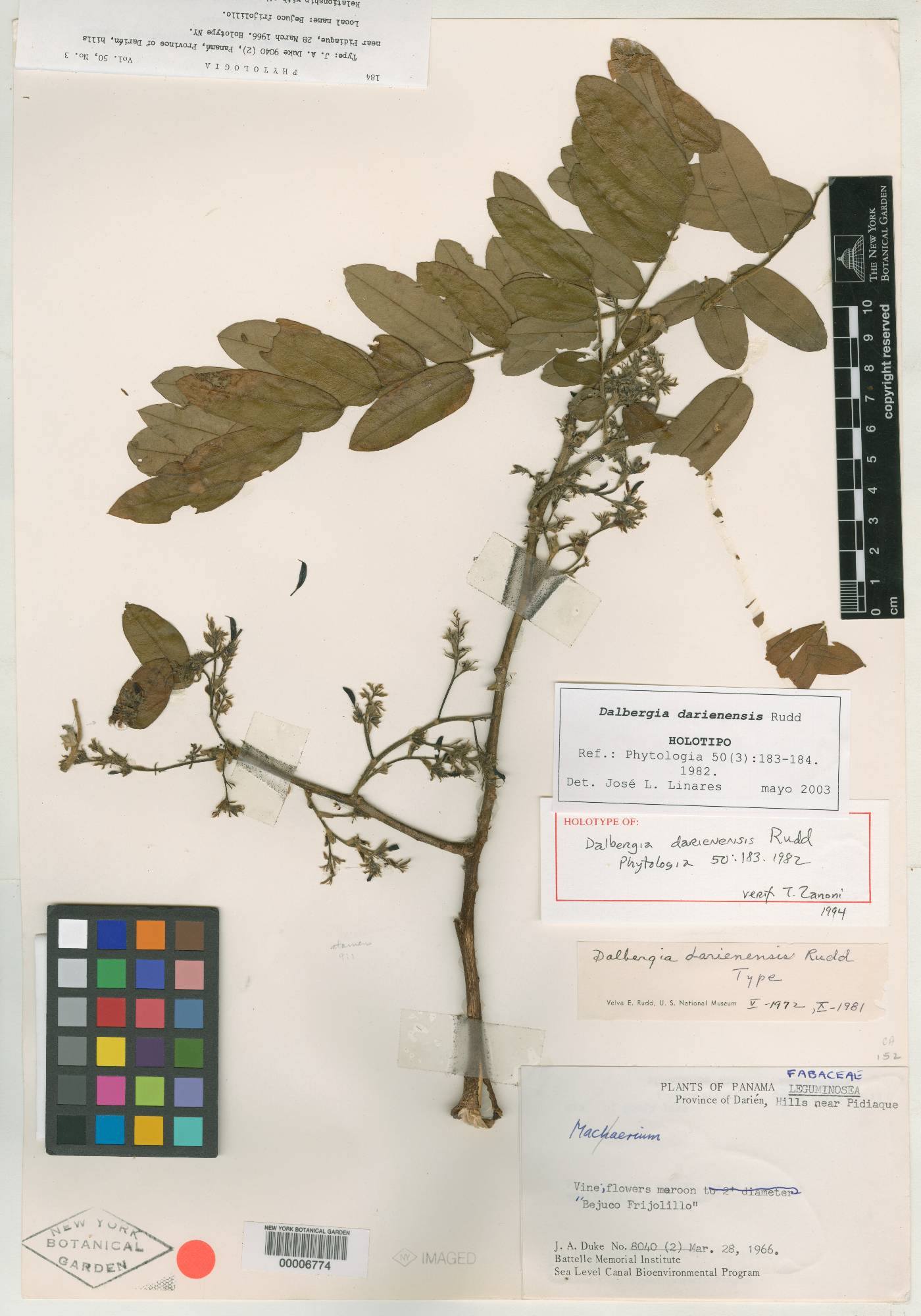 Dalbergia darienensis image