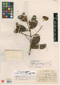 Hydrangea peruviana image
