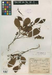 Image of Lonchocarpus peninsularis