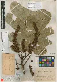 Dussia macroprophyllata image