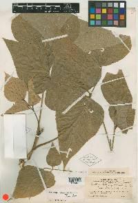 Erythrina costaricensis image