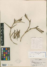 Image of Epidendrum cocleense
