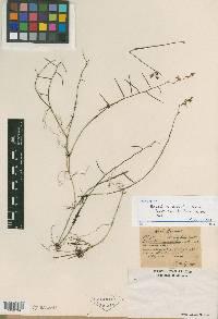 Epidendrum muscicola image