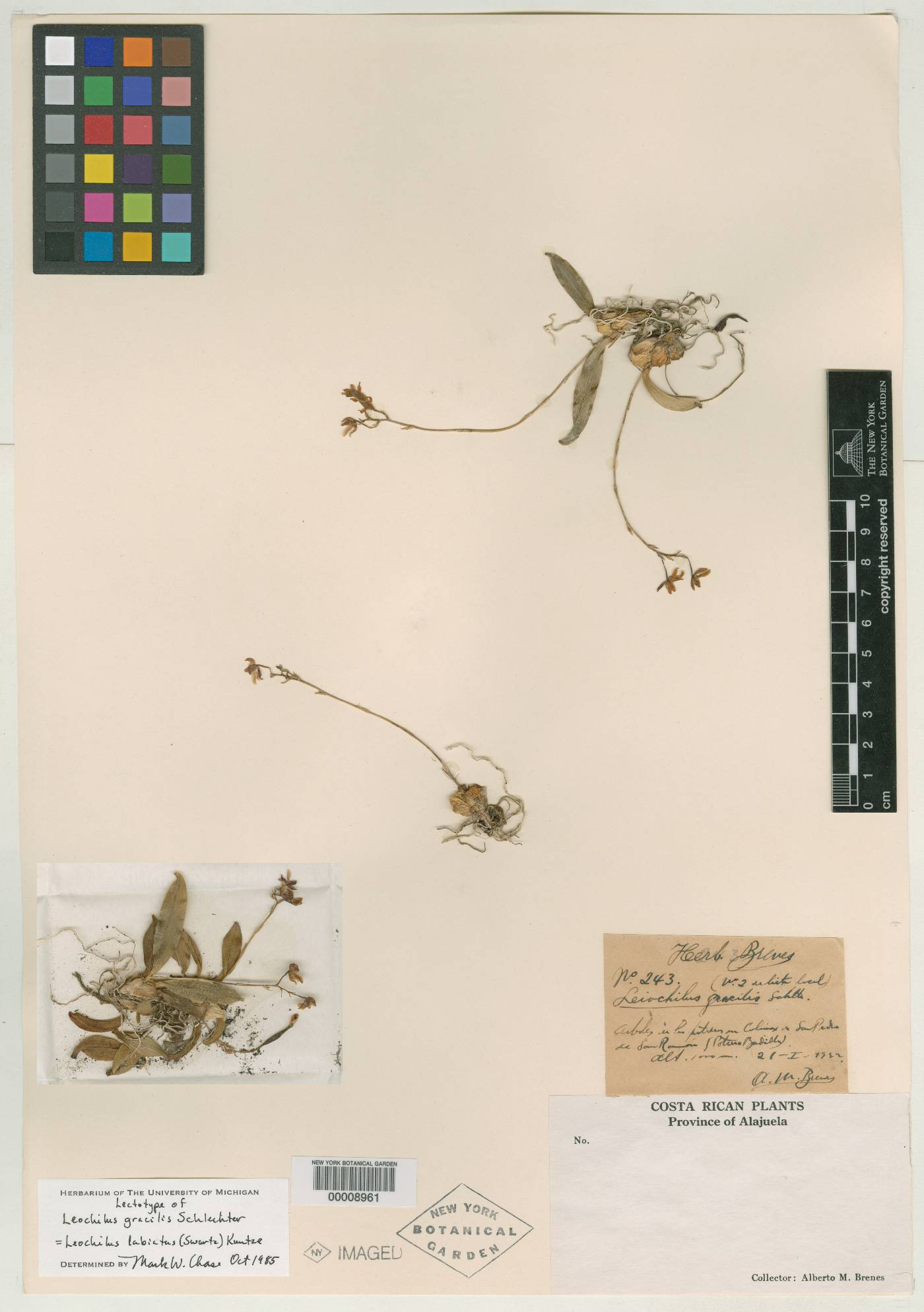 Leochilus labiatus image