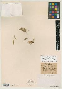 Leochilus scriptus image