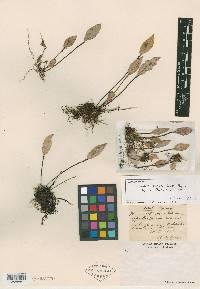 Image of Lepanthes turialvae