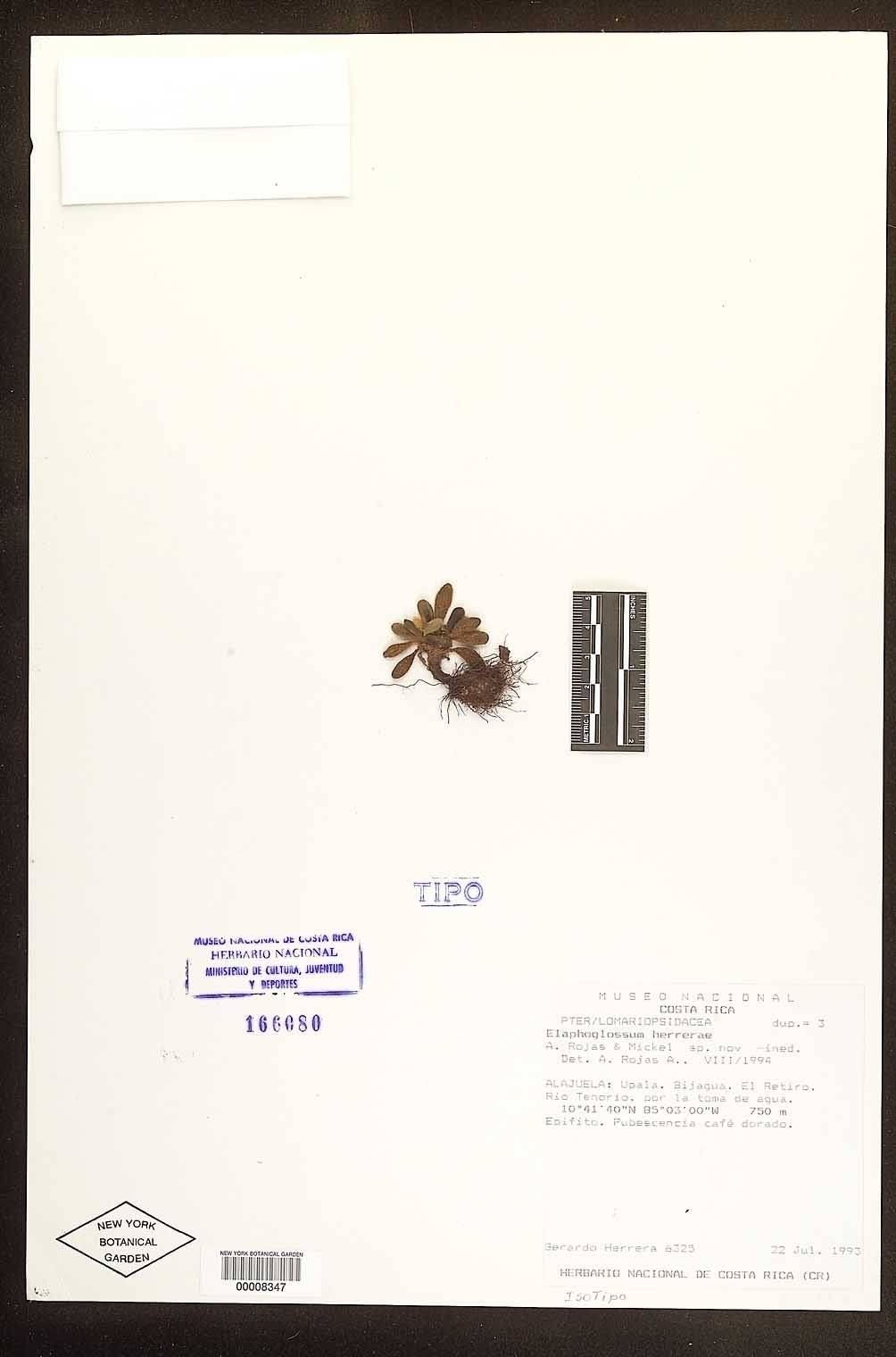 Elaphoglossum herrerae image