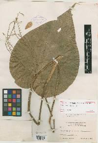 Image of Pleurothallis colossus