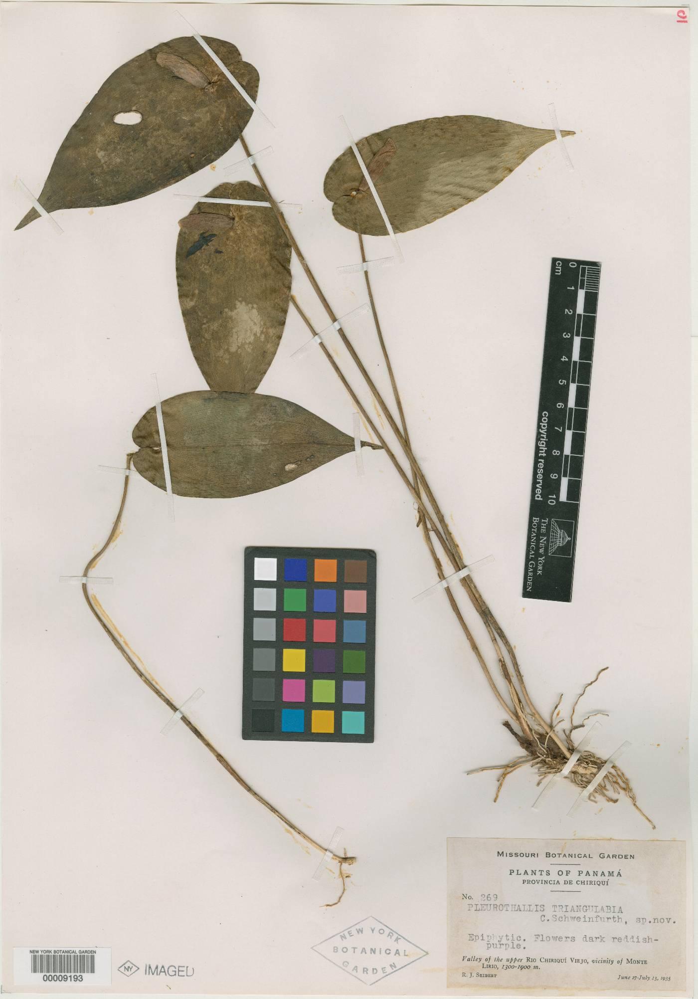 Pleurothallis phyllocardia image