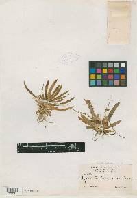 Ornithocephalus bicornis image