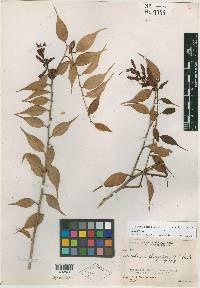 Image of Cavendishia chiriquiensis