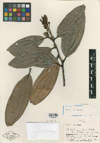 Image of Cavendishia copeensis