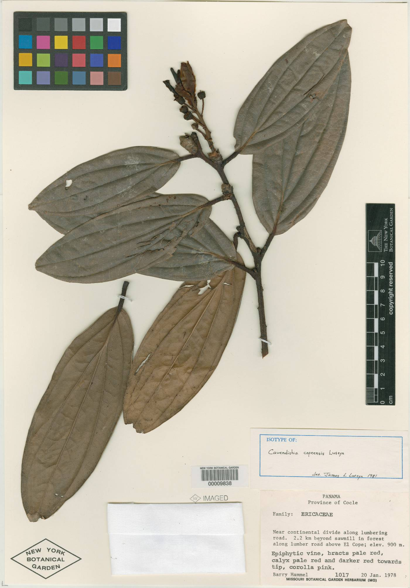Cavendishia copeensis image