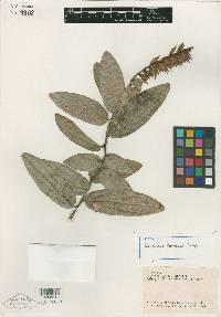 Image of Cavendishia darienensis