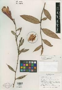 Cavendishia fusiformis image