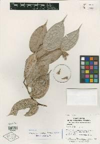 Cavendishia gentryi image