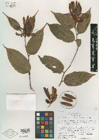 Cavendishia megabracteata image