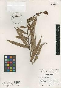 Image of Cavendishia pseudostenophylla