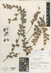 Themistoclesia costaricensis image