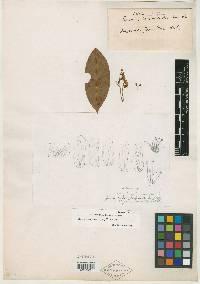 Image of Rourea suerrensis