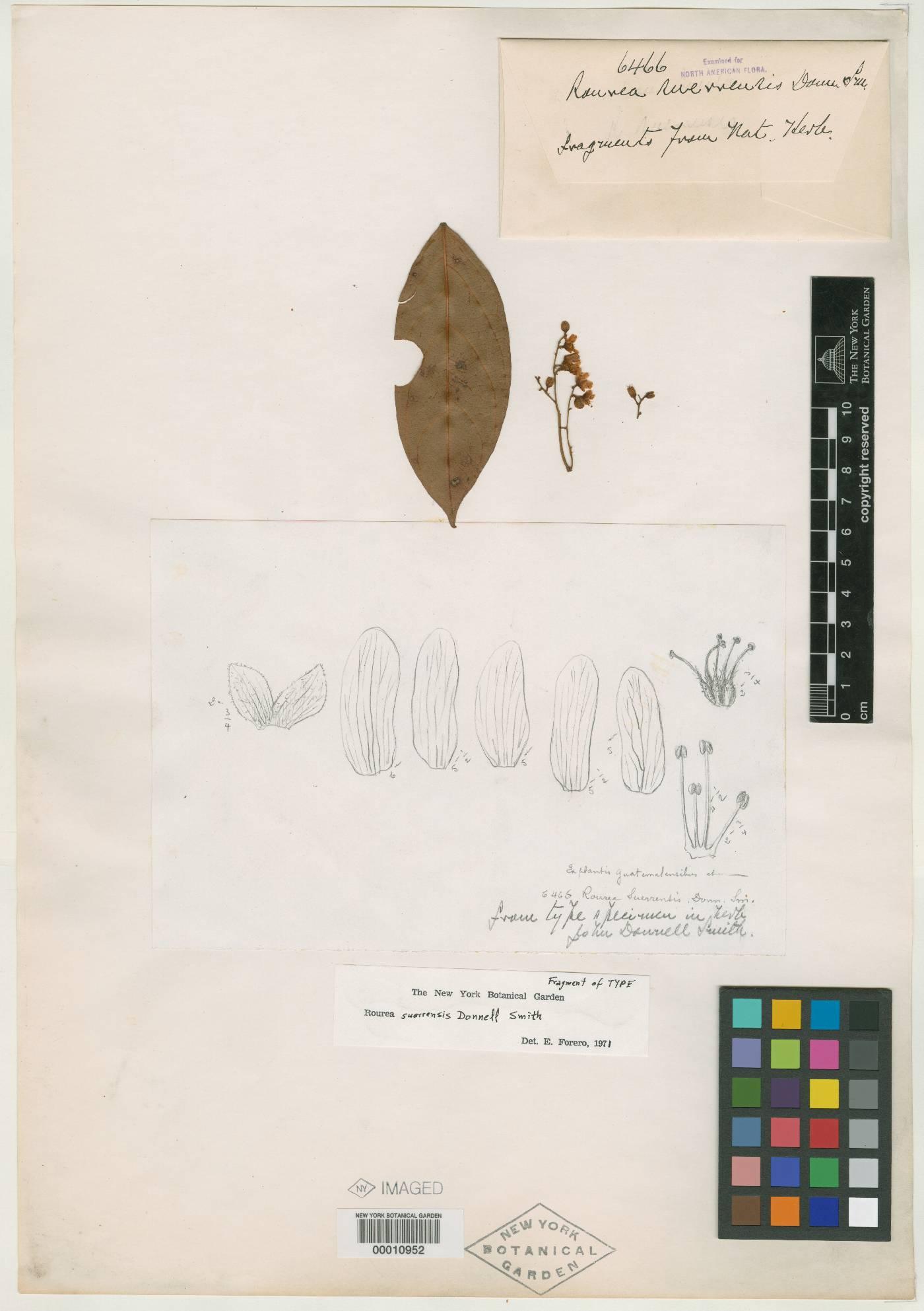 Rourea suerrensis image