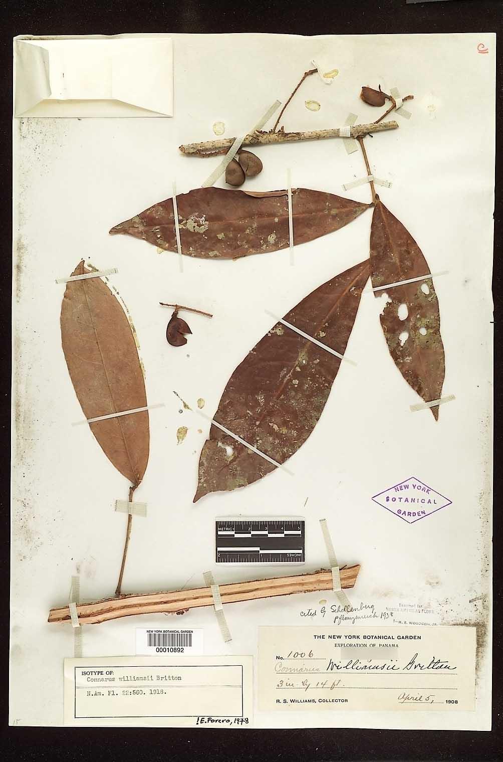 Connarus williamsii image