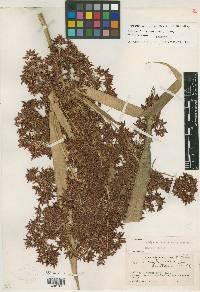 Image of Cyperus nubigenus