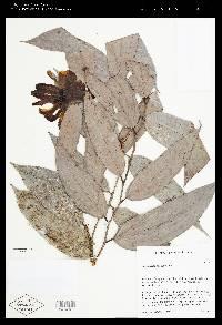 Cavendishia santafeensis image