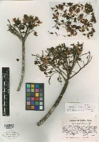 Hymenolobium mesoamericanum image