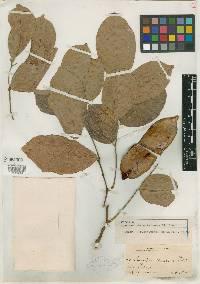 Image of Lonchocarpus chiricanus