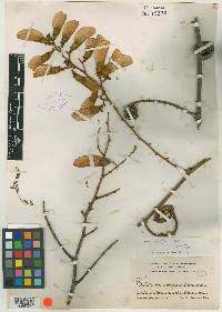 Machaerium cirrhiferum image