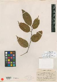 Heisteria scandens image