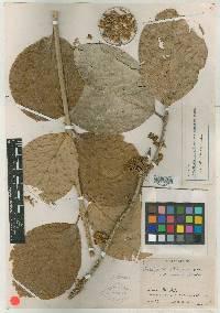 Schlegelia parviflora image