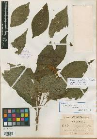 Image of Deppea grandiflora