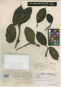 Image of Ficus hartwegii