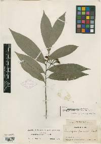Anaxagorea panamensis image