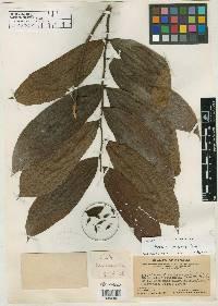 Guatteria aeruginosa image