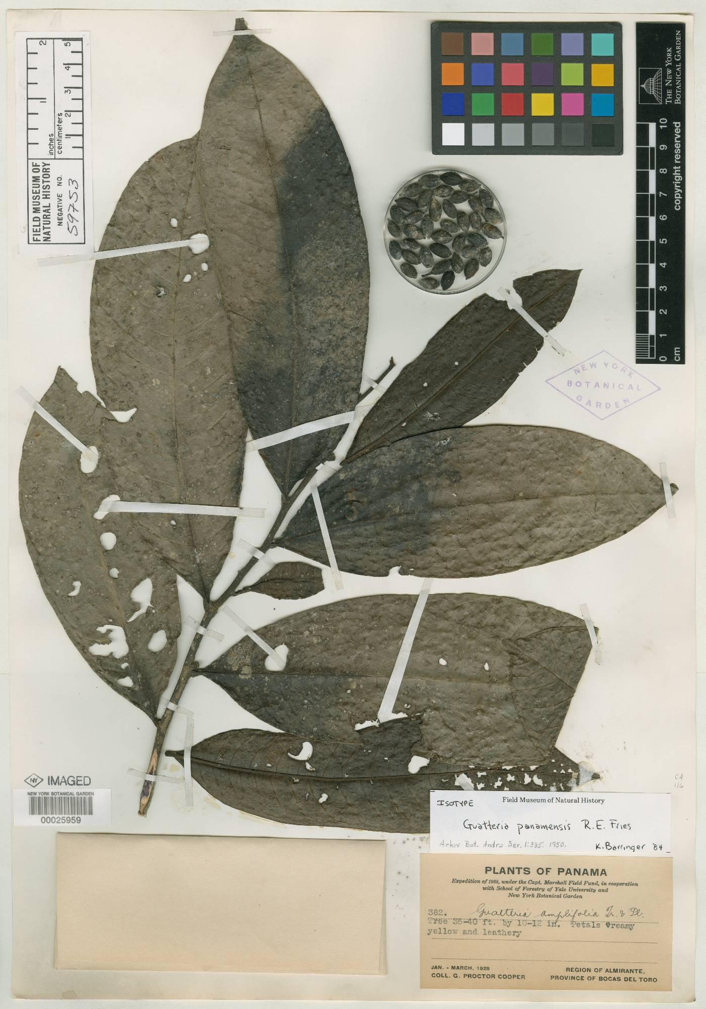 Guatteria panamensis image