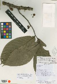 Unonopsis theobromifolia image