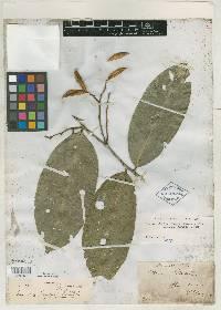 Swartzia simplex image