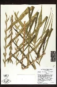 Calyptrogyne pubescens image