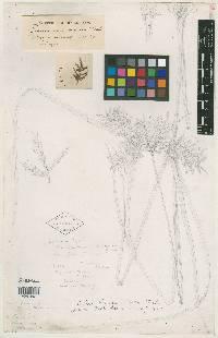 Image of Cyperus hayesii
