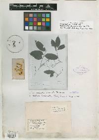 Trichilia tuberculata image