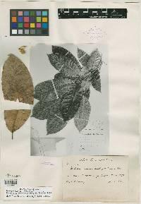 Trichilia pallida image