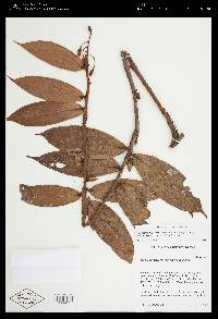 Gonocalyx megabracteolatus image