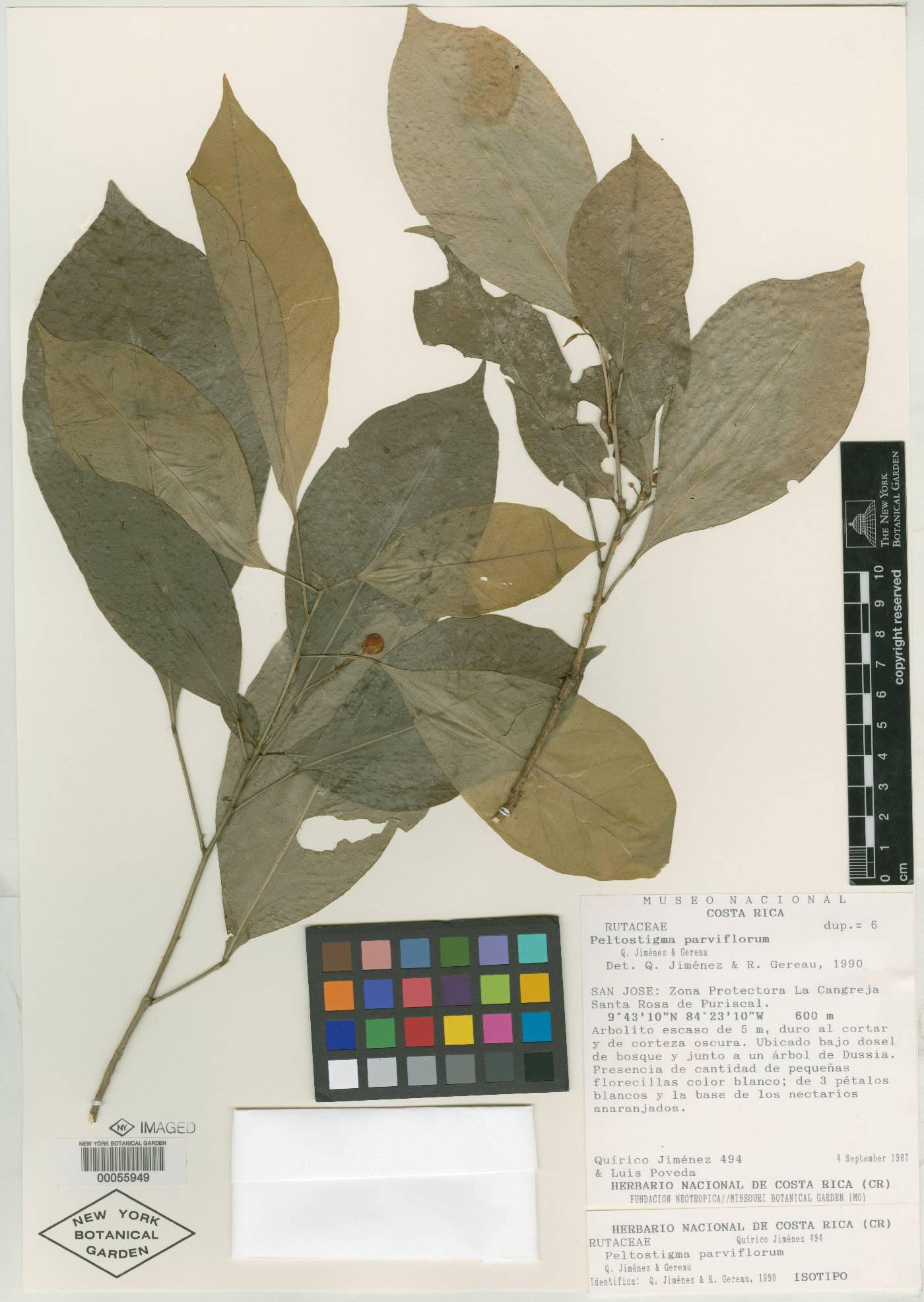 Peltostigma guatemalense image