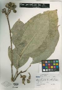 Conchocarpus guyanensis image